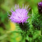 A picture of a milk thistle flower