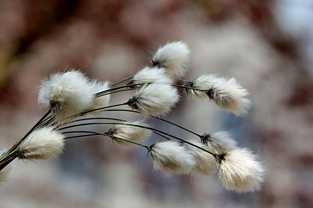 A few cotton grass plants
