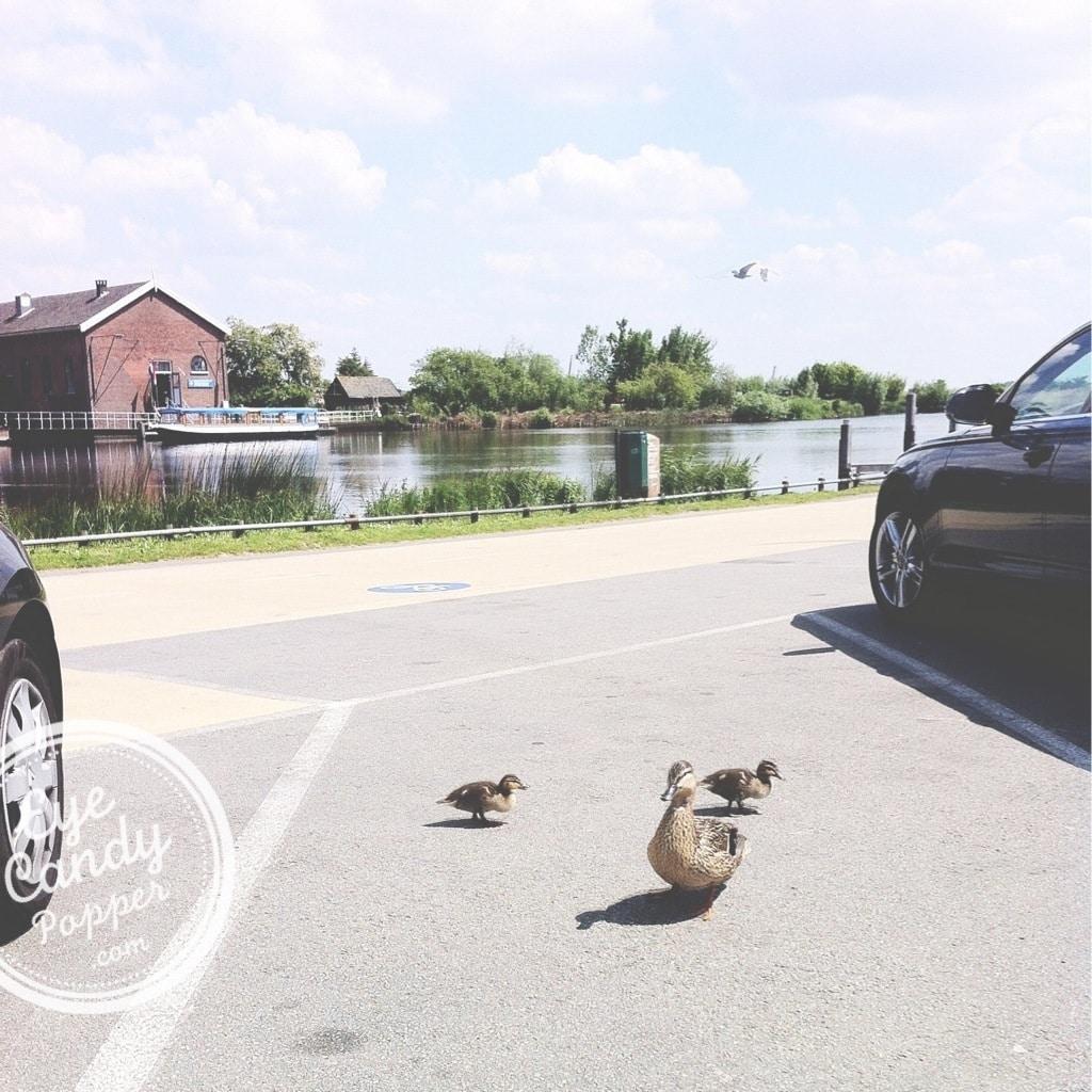 ducks in a parking lot