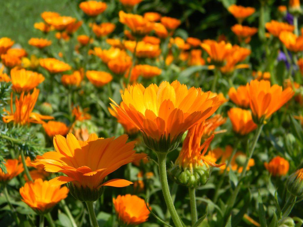 A small field full of orange calendula flowers